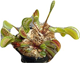 3 small sized Pinnacle Giant Venus Flytraps - Fly Trap - (Dionaea Muscipula) Carnivorous Plant 3 inch pot