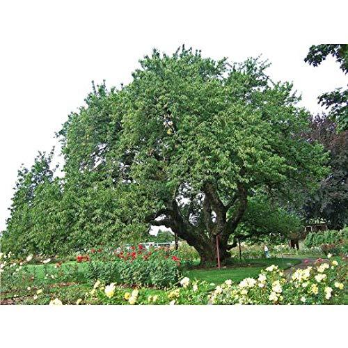 Black Cherry Tree Seeds - 20 Seeds - Grow a Fruit Bearing Tree
