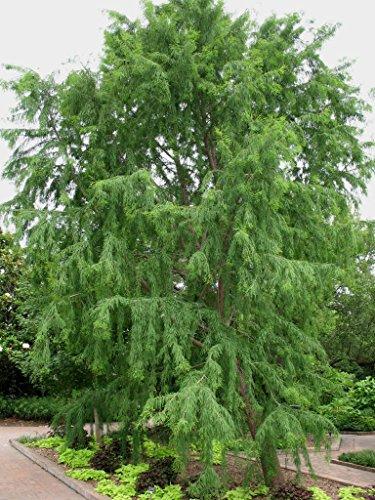 20 Samen - Montezuma Sumpfzypresse Samen (Taxodium huegelii)