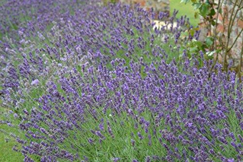 """Premier Seeds Direct BX-IWEG-ERP1 Lavendel """"Common Englisch"""" Samen (Packung mit 1000)"""