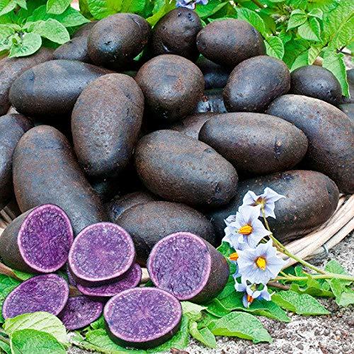 Qulista Samenhaus - Rarität 20pcs BIO Kartoffel Blaue St. Galler Mittelfrüh Schweiz Gemüsesamen winterhart mehrjärhig