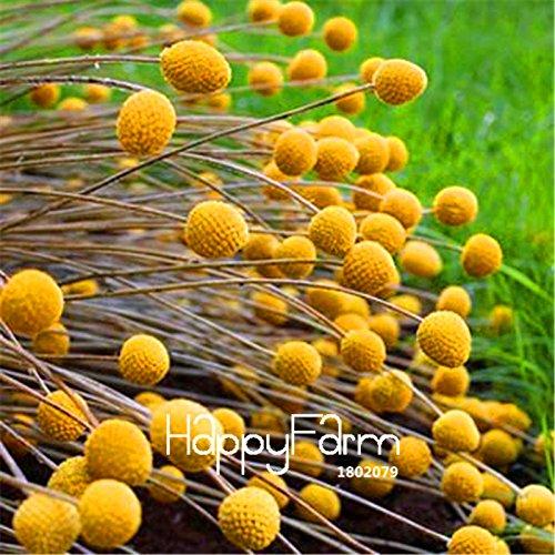 Nouvelles Graines 2015! 100 PCS Heirloom Craspedia Globosa Drumstick Perennial Billy Buttons graines jardin Fleur jaune