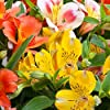 Semi di giglio peruviano - Alstroemeria Aurantiaca #4