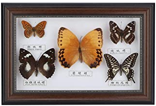taxidermy *NEW* Real Bromius Butterfly Hand Set and Framed In UK Beautiful Gift