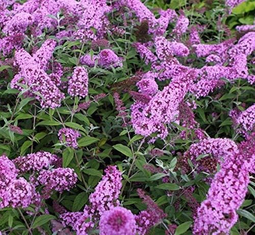 Buddleja davidii Pink Delight 25-30 cm Schmetterlingsflieder Sommerflieder - Fliederspeer