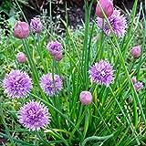 Erba cipollina (Allium schoenoprasum) (Semente)