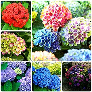 100pcs/ bag hydrangea seeds, mixed colors, potted balcony, planting is simple, budding rate of 95%, radiation absorption S...