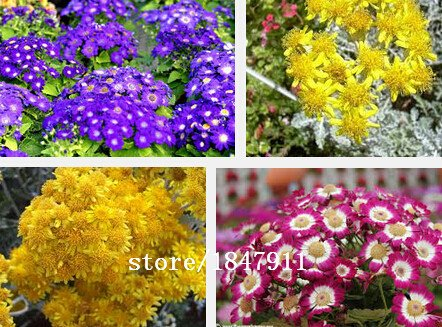 fleuristes de couleurs mixtes de vente Big vente Hot cinéraire graines graines de fleurs maison jardin
