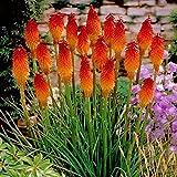 Ncient 50 pcs/ Sac Graines Semences de Fleurs Rouge Poker Chaud, Fleurs Seed Plantes Vivaces Graines à Planter Plante Rare Bonsaï de Jardin Balcon