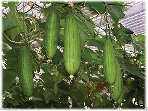 20 Luffa Sponge Gourd  Non-GMO Heirloom Vegetable Seeds