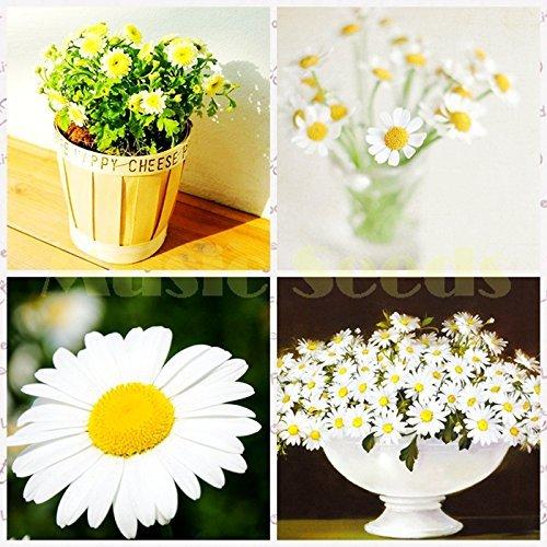 1bag = 100pcs vente chaude graines Daisy EXOTIQUES graines de fleurs mini marguerite bonsaï beau cadeau décoration Maison & Jardin livraison gratuite