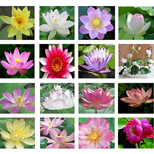 KAYI Lotus Graines Nénuphar Couleurs Mélangées Lotus Plant Graines Accueil Jardin Plantation DIY Jardinage 24 Couleurs 10 pcs