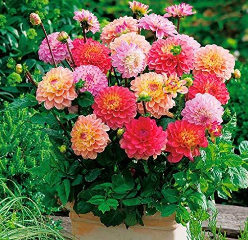 Acecoree Samen Haus- 50 Stück Dahlien-Mischung Riesen-Schmuck-Dahlie mehrjährig winterhart Blumen Seerosendahlie bienenfreundliche Garten Blumewiesen
