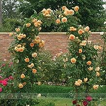(CPM *Ambizu*) Rare ' Crown Princess Margareta' Orange Climbing Rose Shrub Seeds, Professional Pack, 50 Seeds