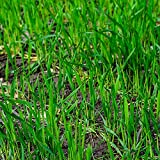 5 Lbs No-Till Winter Rye Cover Crop Seeds - Non-GMO Rye - Deer & Turkey Food Plot Seed - Winter Hardy Cover Crop