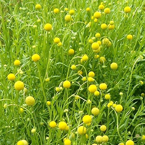 Lot de 100 graines Cephalophora Pineapples odorant - plantes annuelles