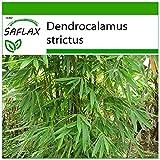 SAFLAX - Bambú de Calcuta - 50 semillas - Con sustrato estéril para cultivo - Dendrocalamus...