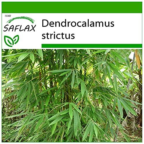 SAFLAX - Bambú de Calcuta - 50 semillas - Con sustrato estéril para cultivo - Dendrocalamus strictus