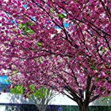 Kwanzan Flowering Cherry Blossom Tree (4-5')