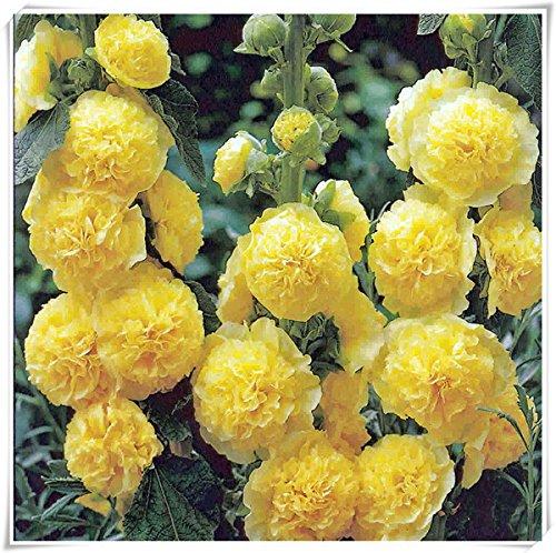 fleurs doubles trémière Graines-Alcea rosea rose, rose, rouge, jaune graines de fleurs vivaces bonsaïs pour 50seeds de plantes de jardin Accueil / sac 106