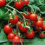 vegherb Mexiko Midget Tomatensamen, Profi Pack 100 Samen/Pack, Tiny Obst für Snack-Salat oder irgendeine Weise Verlangen Sie # Ts021