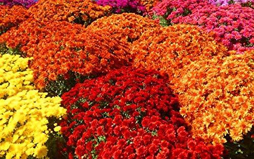 Incroyable arc-en-coréopsis, 50 graines, cosmos rares chrysanthèmes fleurs de jardin à la maison TS229T