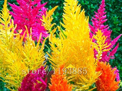 1000pcs mini-arc-en-herbe des pampas (rush run), interrupteur à lames, graines d'herbe, bonsaï belle graines de fleurs plante en pot pour la maison jardin