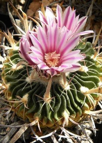 Tropica - Kakteen - Lamellenkaktus (Echinofossulocactus lamellosus) - 40 Samen