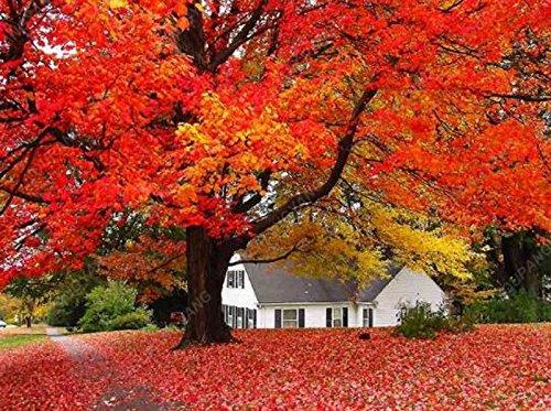 50 PC americanos arce rojo Semillas Semillas Semillas del árbol de arce ornamental Bonsai para jardín Plantar fácil cultivar semillas de árboles raros Negro