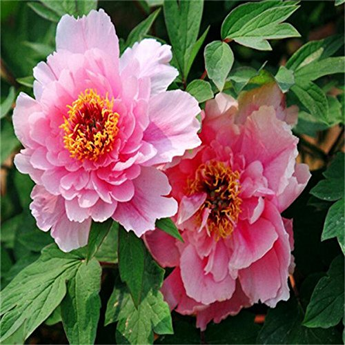 5 pièces/sac graines de pivoine, jaune, graines de fleurs de pivoine rose chinoise belles graines de bonsaï plantes en pot pour le jardin de la maison 2