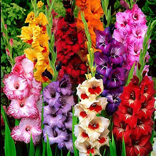 25x Gladiolus   Bulbi di Gladioli per giardini   Mix di Bulbi a fioritura estiva   6 cm