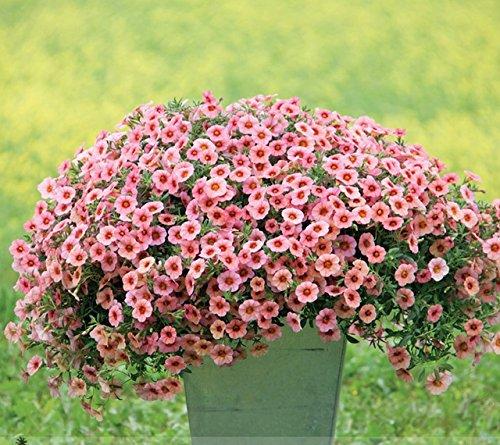 Heirloom Rose Garden Pétunia avec graines yeux rouges Fleur, 100 graines, bicolor