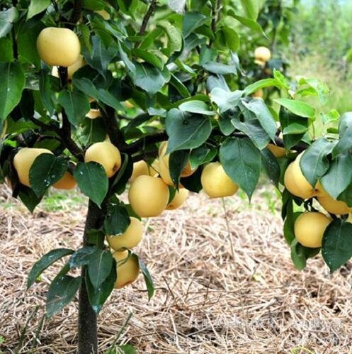 fruits de poire de qualité en gros d'or de graines de poire empochée stock adéquat du Nord et du Sud 50 graines/Pack 1