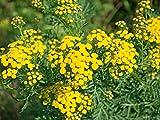 Rainfarn Tanacetum vulgare 100 Samen