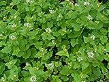 Knoblauchsrauke Alliaria petiolata 100 Samen
