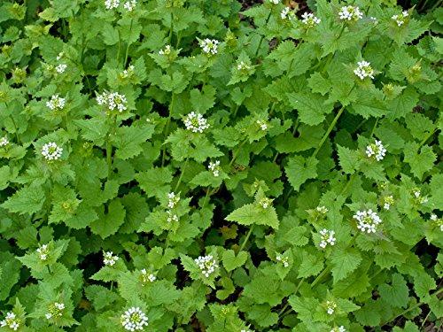 Knoblauchsrauke Alliaria petiolata 200 Samen