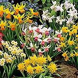 50x Narcissus | 50er Mix Blumenzwiebeln Narzissen | Osterglocken Zwiebeln | Blumenzwiebeln Frühblüher | Ø 10-12cm