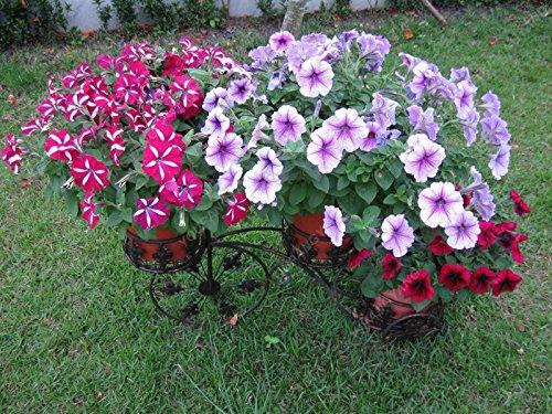 nouvelle arrivée 100 Pièces/Paquet Pêche Petunia Graines bonsaïs jardin de fleurs Easy Grow Hanging blanc