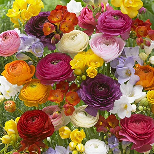 Van Zyverden 88250 Grand Freesia & Ranunculus Blend Set of 75 Dormant Flower Bulbs, Mixed