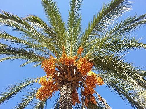 Echte Dattelpalme Phoenix dactylifera Pflanze 5-10cm Datteln Palme Fiederpalme