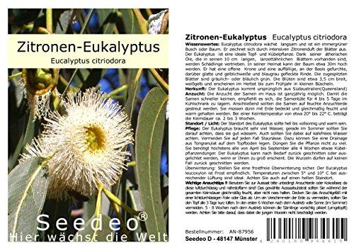 Seedeo® Zitronen-Eukalyptus (Eucalyptus citriodora) 200 Samen