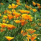 XINDUO Mezcla Semillas Ornamentales,Planta de Paisaje al Aire Libre Semillas de Amapola de California-0.25kg,Ornamentales Semillas