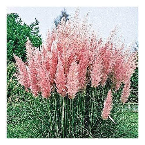 Cortaderia selloana 'Rosea' 1 Liter (Ziergras/Gräser/Stauden) Pampasgras