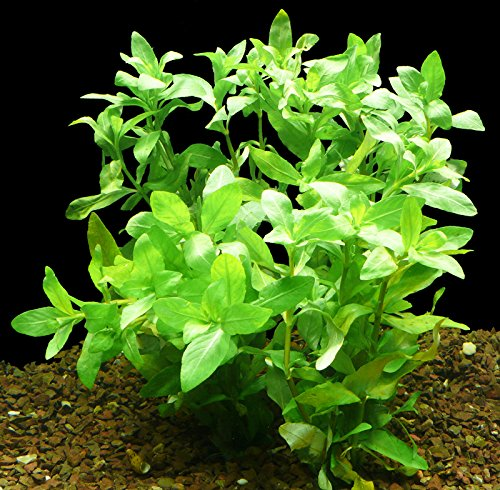 Zoomeister - 1 Bund Indischer Wasserfreund (Hygrophila Polysperma)