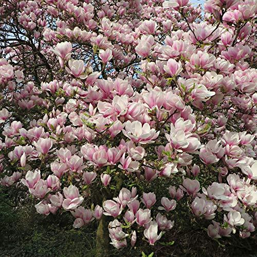 Magnolia x Soulangeana | Magnolien Strauch | Magnolienbaum Winterhart | Winterharte Pflanzen für Garten | Höhe 15-20cm | Topf-Ø 9cm
