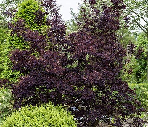 Dehner Perückenstrauch Royal Purple, schwarz-rotes Laub, ca. 40-50 cm, 7.5 l Topf, Strauch