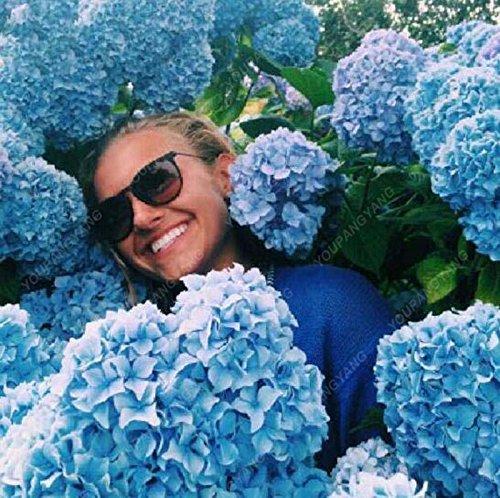 20 hortensia bleu Graines de fleurs Belle couleur Balcon Plantation en pot est simple Fleurs romantiques pour la plantation Maison et jardin