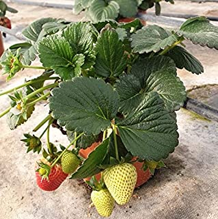 Amazon.es: Últimos 30 días - Frutales / Plantas de exterior: Jardín