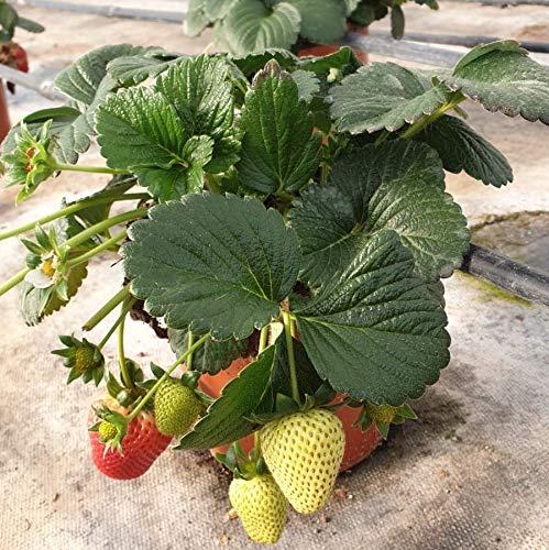 Fresa planta - PACK 2 unid. - maceta 14cm. - altura total aprox. 20cm. - planta viva - (envíos solo a península)