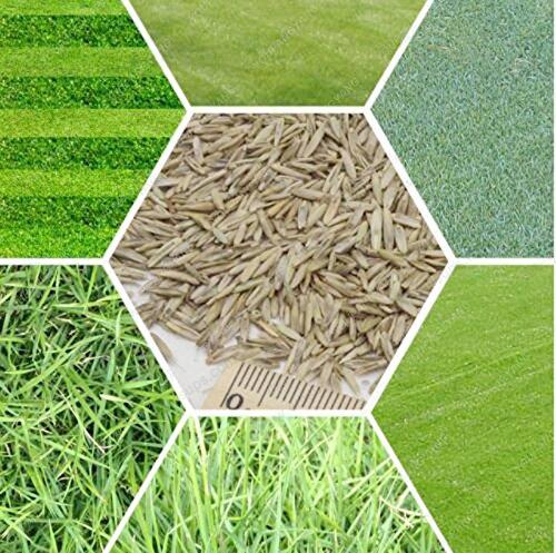 200 graines/paquet gazons Semences à gazon à feuilles persistantes vert gazon Graines Source Golf Terrain de soccer Herbe Bonsai Graines Livraison gratuite